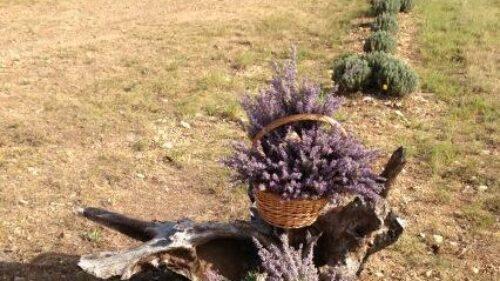 Imagine Lavender Farm