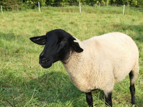 Terrapin Farms Dorper Sheep