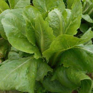 Fruitful Hill Farm - Romaine Lettuce
