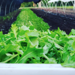 Green Bexar Farm- Arugula