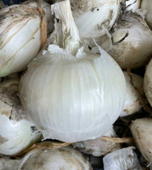 White Onion- Talking Tree Farm